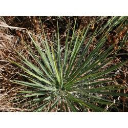 Yucca Hybride GG 036, Pflanzen für besondere Gärten, Yuccashop -
