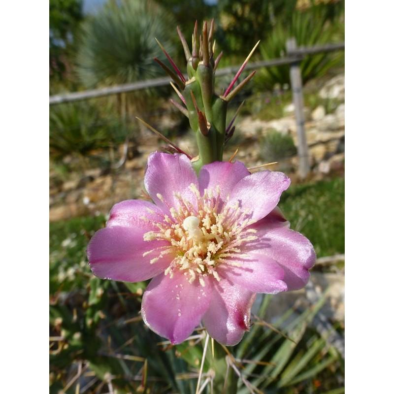 Cylindropuntia kleiniae, Klein's Cholla, Yuccashop -