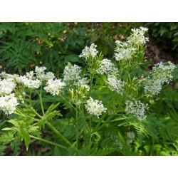 Myrrhis odorata, Stauden, Specials, Yuccashop -