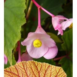 Begonia grandis var. evansiana, Stauden, Specials, Yuccashop -