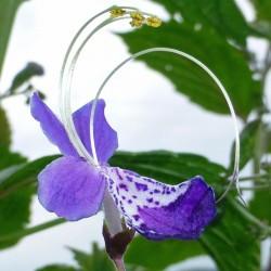 Tripora divaricata (Syn. Caryopteris), Stauden vom Yuccashop -