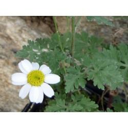 Tanacetum niveum, Stauden vom Yuccashop -