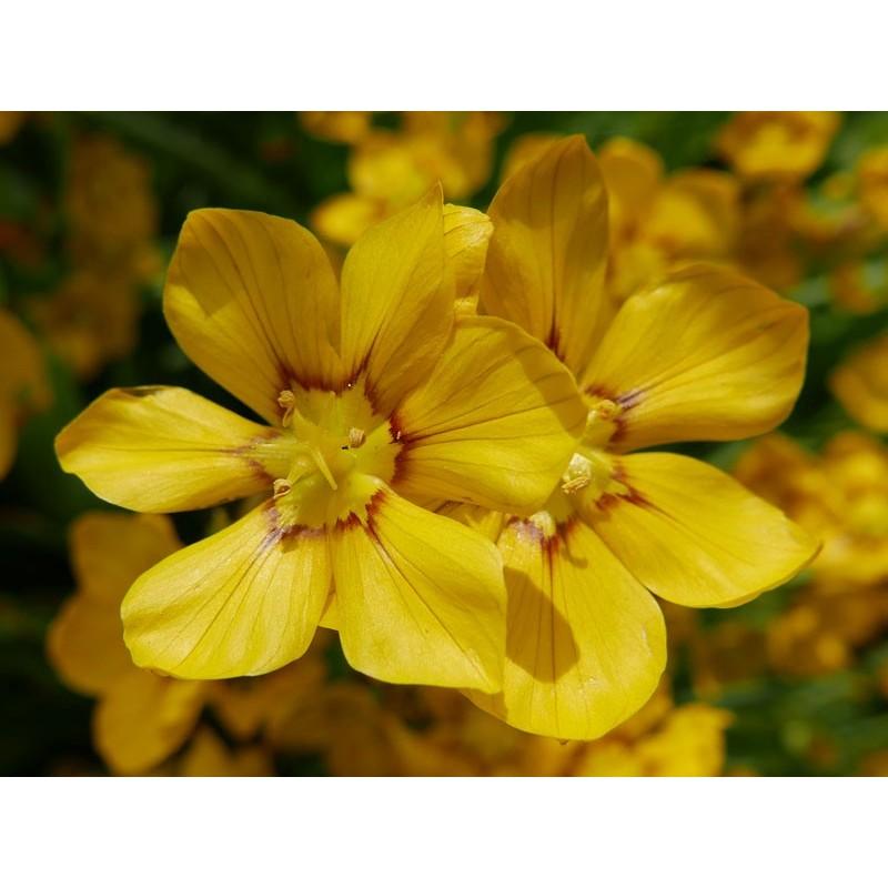 Sisyrinchium macrocarpum, Stauden vom Yuccashop -