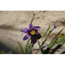 Sisyrinchium idahoense, Stauden vom Yuccashop -
