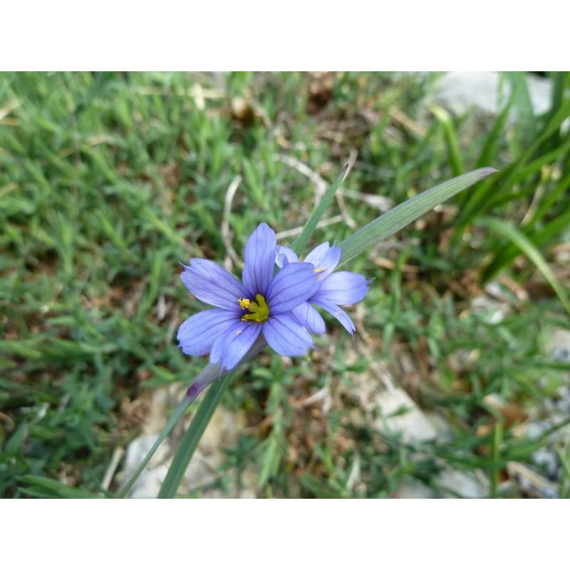 Sisyrinchium graminoides, Stauden vom Yuccashop -