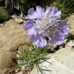 Scabiosa graminifolia, Stauden vom Yuccashop -