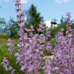 Salvia sclarea, Stauden vom Yuccashop -