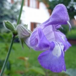 Salvia ringens, Stauden vom Yuccashop -