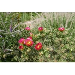 Cylindropuntia x viridiflora ''Rot'', Santa Fe Cholla, Yuccashop -