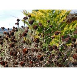 Rudbeckia triloba, Stauden vom Yuccashop -