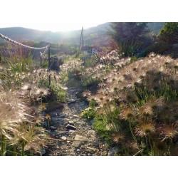 Pulsatilla grandis, Stauden vom Yuccashop -