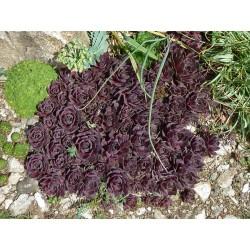 Sempervivum Hybriden ''Rot'', Sukkulenten vom Yuccashop -