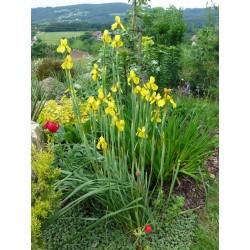 Moraea spathulata, Stauden, Iris, Yuccashop -