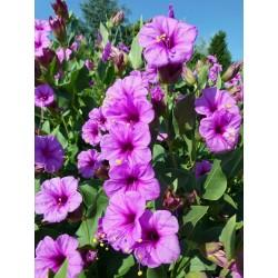 Mirabilis multiflora, Stauden vom Yuccashop -