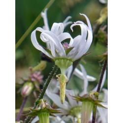 Michauxia campanuloides, Stauden vom Yuccashop -