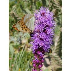 Liatris spicata, Stauden vom Yuccashop -