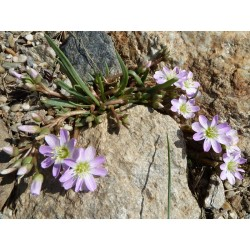 Lewisia pygmaea, Stauden vom Yuccashop -