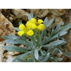 Lesquerella arizonica, Stauden vom Yuccashop -