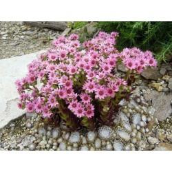 Sempervivum arachnoideum, Spinnweb-Hauswurz vom Yuccashop -