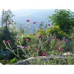Knautia macedonica, Stauden vom Yuccashop -