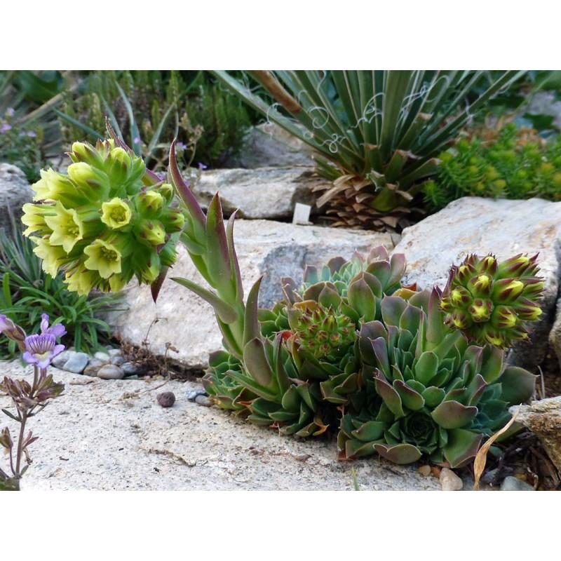 Sempervivum heuffelii, Durmitor-Gebirge, Montenegro, Yuccashop -