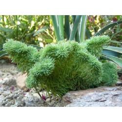 Sedum rupestre f. cristatum, Sukkulenten vom Yuccashop -