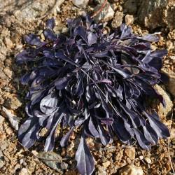 Globularia punctata, Stauden vom Yuccashop -
