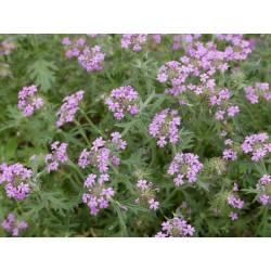 Glandularia gooddingii, Stauden vom Yuccashop -