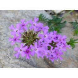 Glandularia aristigera, Stauden vom Yuccashop -