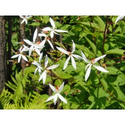Gillenia trifoliata, Stauden vom Yuccashop -