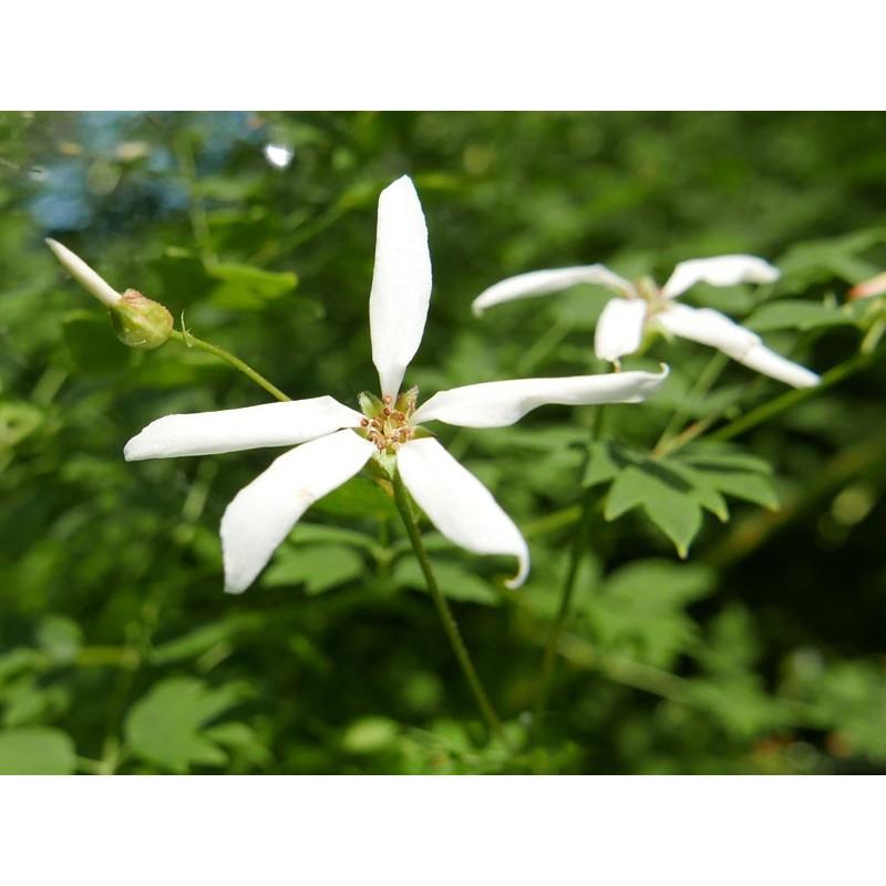 Gillenia stipulata, Stauden vom Yuccashop -