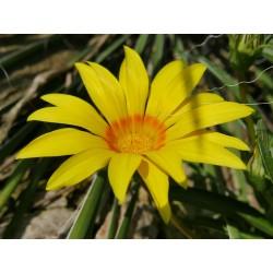 Gazania krebsiana (G. linearis Hort.), Stauden vom Yuccashop -