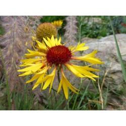 Gaillardia aristata ''Wildform'', Stauden vom Yuccashop -