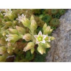 Rosularia pallida, Sukkulenten vom Yuccashop -