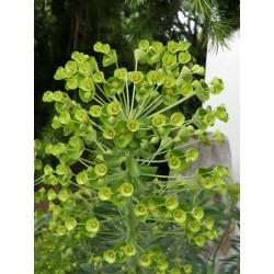 Euphorbia characias subsp. wulfenii 'Lambrook Gold', Stauden vom Yuccashop -