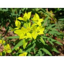 Euphorbia ceratocarpa, Stauden vom Yuccashop -