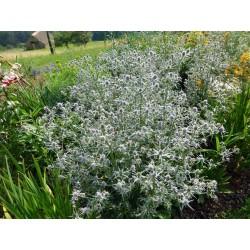 Eryngium variifolium, Stauden vom Yuccashop -