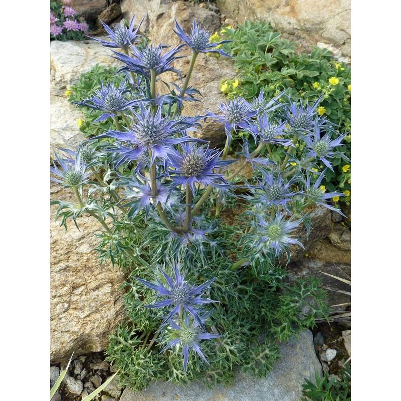 Eryngium bourgatii, Stauden vom Yuccashop -