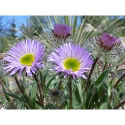 Erigeron spec., Townsendia formosa, Stauden vom Yuccashop -