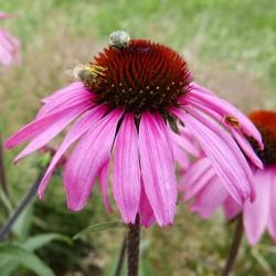 Echinacea tennesseensis Hybriden, Stauden vom Yuccashop -