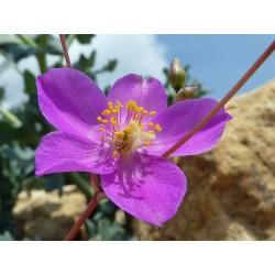Phemeranthus calycinus (Talinum), Sukkulenten vom Yuccashop -