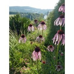 Echinacea pallida, Stauden vom Yuccashop -
