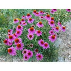 Echinacea ''Kompakte Hybriden'', Stauden vom Yuccashop -