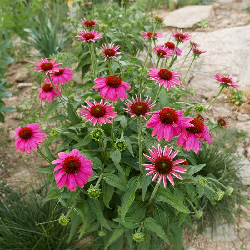 Echinacea ''India'' Absaat, Stauden vom Yuccashop -