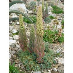 Orostachys spinosa ''Klein'', Sukkulenten vom Yuccashop -