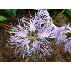 Dianthus superbus subsp. alpestris, Stauden vom Yuccashop -