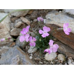 Dianthus sternbergii, Stauden vom Yuccashop -