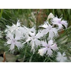Dianthus lumnitzeri, Stauden vom Yuccashop -