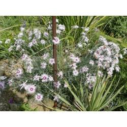 Dianthus spiculifolius, Stauden vom Yuccashop -