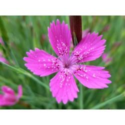 Dianthus deltoides, Stauden vom Yuccashop -